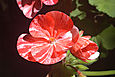 Red and White Geranium