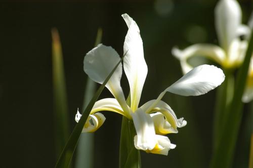Iris 05-09