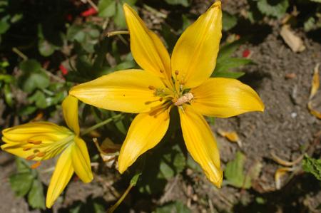 Lilyconnweb